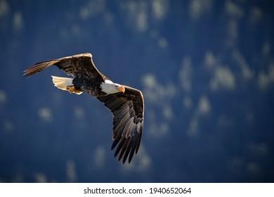 A closeup shot of a bald eagle