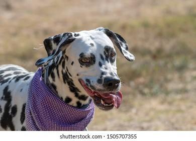Close-up shot of beautiful Dalmatian dog. Selective focus