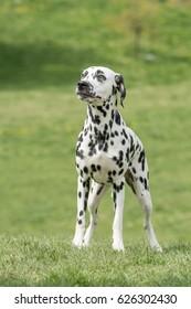 Close-up shot  of beautiful Dalmatian dog