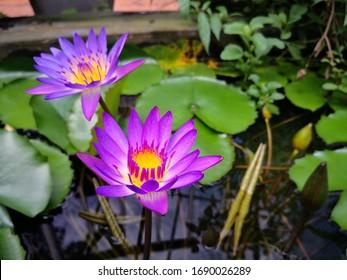 Nahaufnahme einer schönen Lotus-Blume