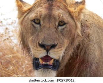 A closeup shot of a beautiful roaring lion in a desert