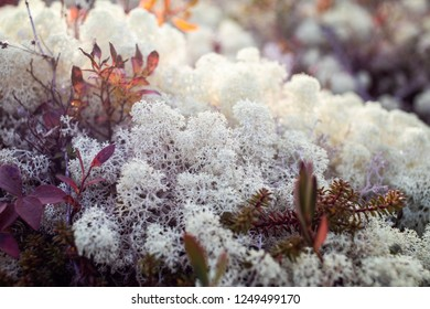 Closeup shot of beautiful white reindeer lichen growing in sunlight in National park of Gaspe, Canada