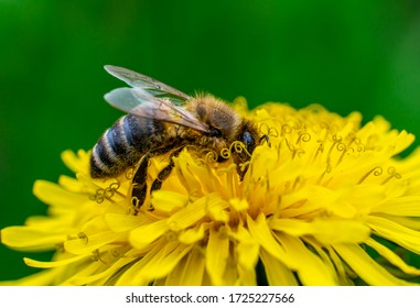 close-up shot of a bee covered with yellow pollen on a bright yellow dandelion flower