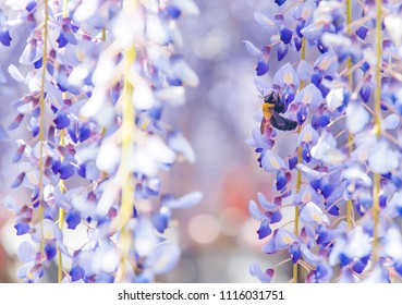 Close-up shot of bee and wisteria flower