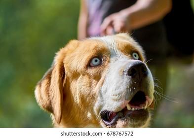 Closeup Shot Of A Big Alabai Central Asian Shepherd Dog With Light Grey Eyes