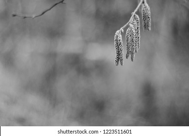 Closeup shot of a birch tree catkins on a natural brown background