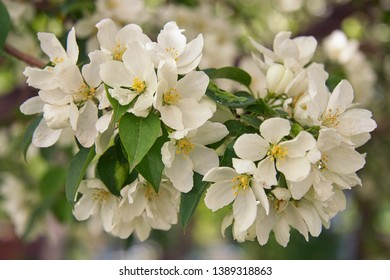 Closeup shot of blooming apple tree white flowers. Apple-tree branch in bloom. Natural Spring flower floral backgound