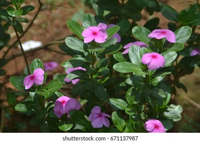 Close-up shot of blooming Pink flowers