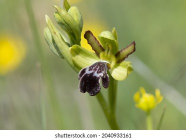 A closeup shot of a blooming wild sombre-bee orchid