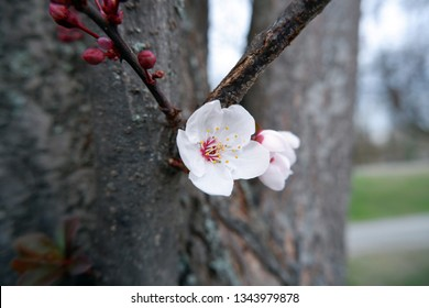 close-up shot of blossoming apricot flowers on tree
