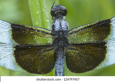 Close-Up shot of a blue dragonfly (Libellula luctuosa; Widow Slimmer Male) covered with dew