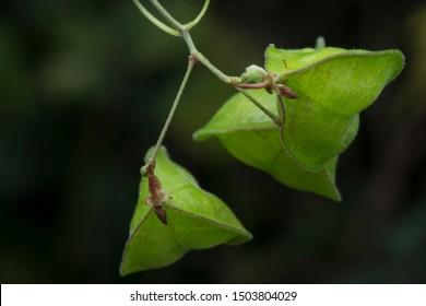 closeup shot of cardiospermum halicacabum vine.