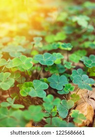 close-up shot of clover growing in the woods, with moss beneath it