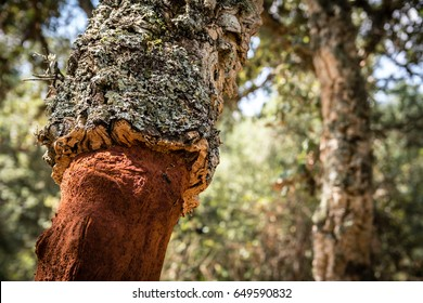 Close-up shot of cork tree (Quercus Suber) with moss in Sardinia, Italy.  The bark is recently harvested for making wine bottle corks.