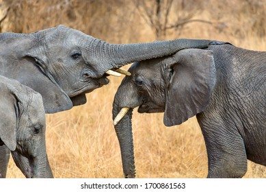 A closeup shot of a cute elephant touching the other with the trunk