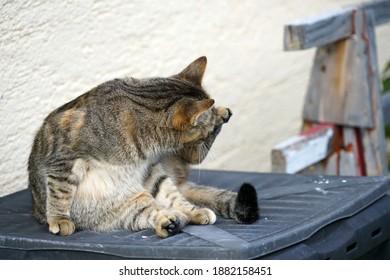 A closeup shot of a domesticcat