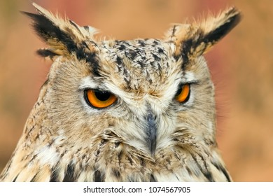 Close-up shot of eagle owl with colorful light feather and dangerous orange eyes looking away.