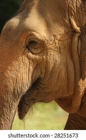 A closeup shot of an elephant in captive shone in golden sunlight.