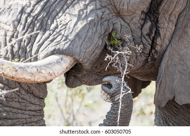 Close-up shot of an Elephant tusk in South Luangwa National Park, Zambia. The concentration of animals around the Luangwa River is among the most intense in Africa.