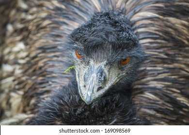 Close-up shot of an Emu Bird