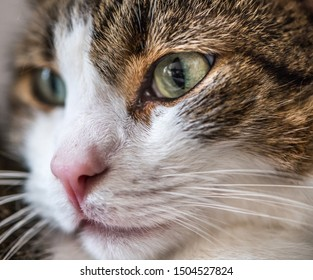 Close-up shot of the face of a cute borwn and white male cat
