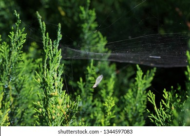 Close-up shot of fir branches covered with spider web