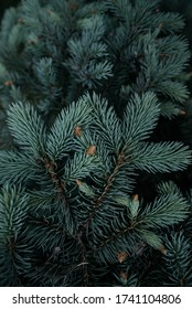 Closeup shot of fir of young green christmas tree