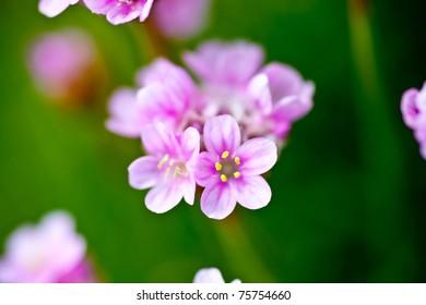 Armeria maritima images stock photos vectors shutterstock closeup shot of flowering sea pinks armeria maritima mightylinksfo