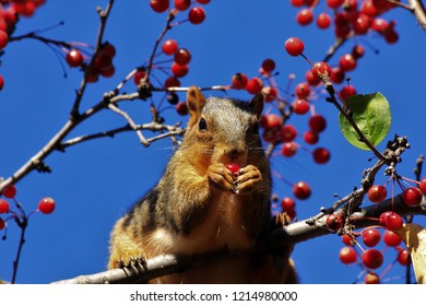 A closeup shot of a Fox Tail Squirrel that's eating a Red Berry in a tree among the limb's. That's bright and colorful in Hutchinson Kansas USA.