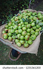 A close-up shot of freshly picked green apples that have been collected into a wheelbarrow.