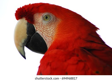 A closeup shot of a Golden Red Macaw Bird