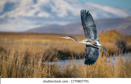 A closeup shot of Great blue heron flying over great Salt lake in Utah