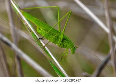 A closeup shot of a green grasshopper in the grass