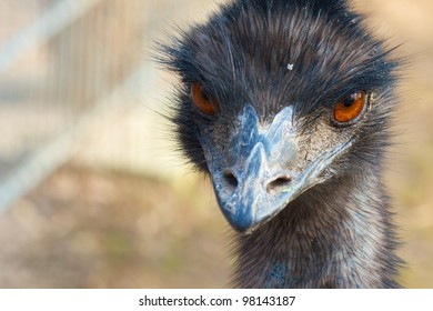 Closeup shot of a grumpy Emu bird from the front