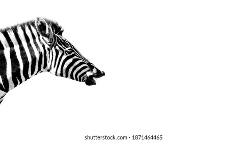 A closeup shot of the head of a zebra isolated on white background