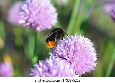 A closeup shot of a honey bee polinating a purple chive flower