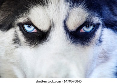 Close-up shot of husky dog blue eyes. Husky dog of black and white color with blue eyes, thoroughbred.