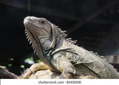 closeup shot of Iguana