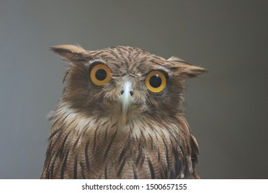 closeup shot of indian owl, the yellow eyes and a sharp beak front look
