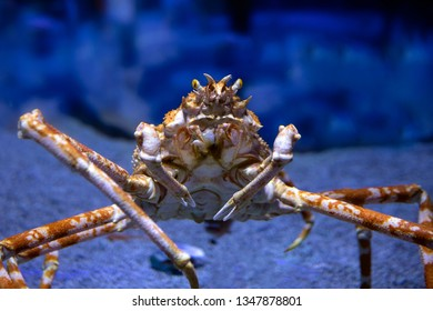 Closeup shot of a Japanese Spider Crab (Macrocheira kaempferi)