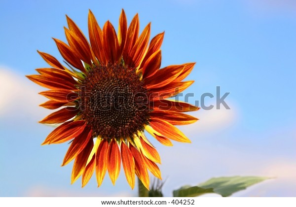 Close-up shot of large blood-red sunflower.