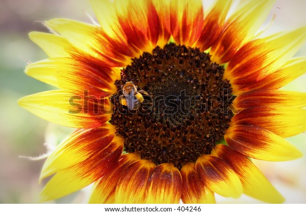 Close-up shot of large sunflower and a bee.