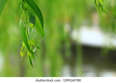 Closeup shot of leaves of weeping willow