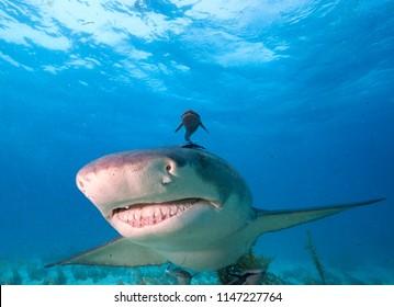 Close-up Shot of Lemon Shark Swimming in Clear Waters of Bahamas