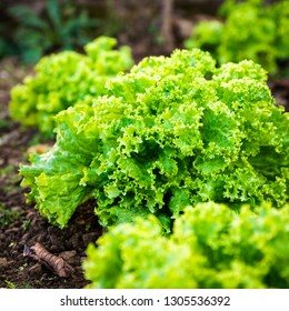 Closeup shot of a lettuce growing in garden