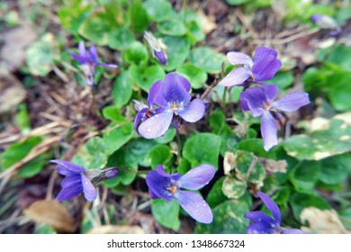 close-up shot of lobelia flowers in garden