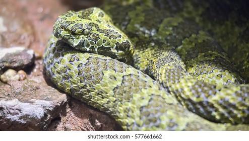 Closeup shot of a Mangshan Pit Viper (Trimeresurus mangshanensis) snake.