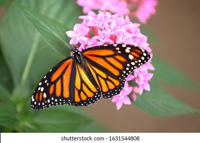 A closeup shot of a monarch butterfly with wings spread feeding on pink santan flowers