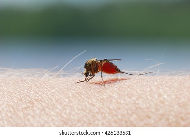Close-up shot of a mosquito blood sucking on human skin