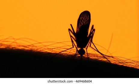 Close-up shot of a mosquito blood sucking on human skin on sun background